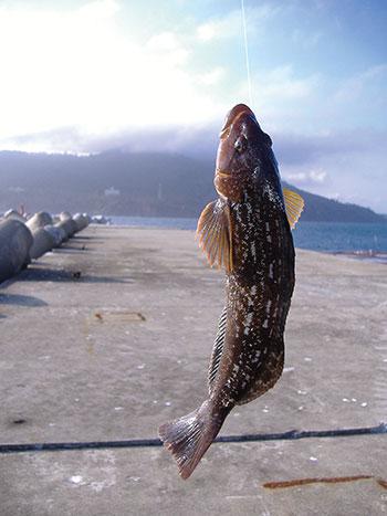 アイナメ【鮎魚女・鮎並】釣り上げられたアイナメ