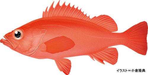 アコウダイ【阿候鯛・赤魚鯛】