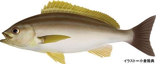 いさ ぎ 魚