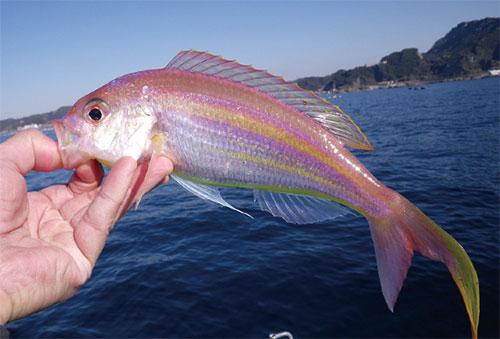 イトヨリダイ【糸撚鯛】ソコイトヨリ