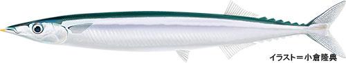 サンマ【秋刀魚】