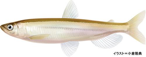 シシャモ【柳葉魚】