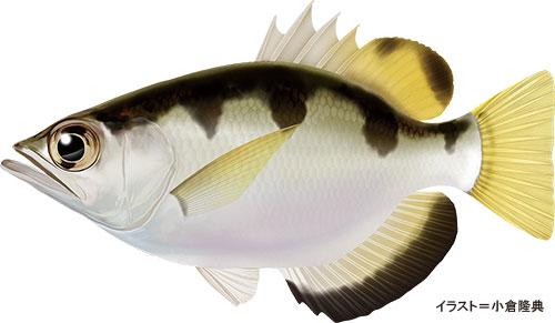 テッポウウオ【鉄砲魚】