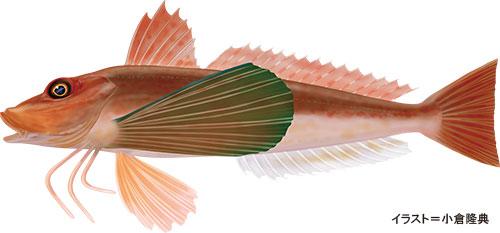 ホウボウ【竹麦魚・魴鮄】