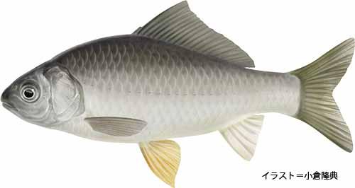 マブナ【真鮒】魚の生態・淡水編 | 房総爆釣通信