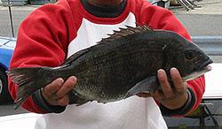 カカリ釣り クロダイ釣果