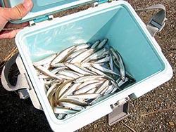 丹沢湖ワカサギ釣果