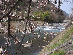 春の箱根早川上流